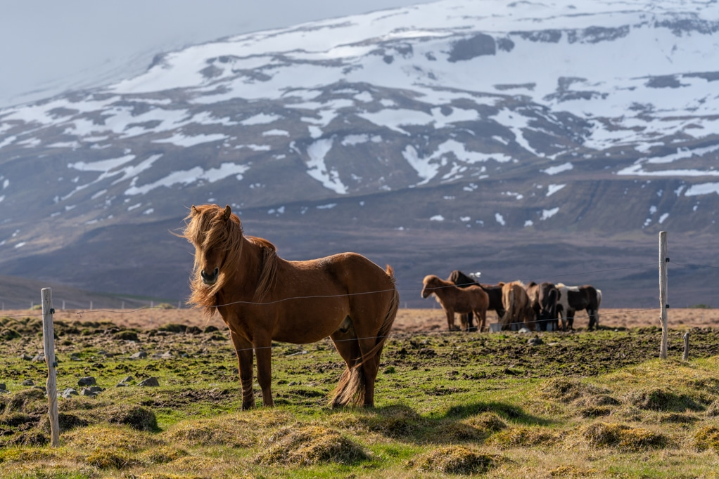Aerial Drone view of a horse in Iceland